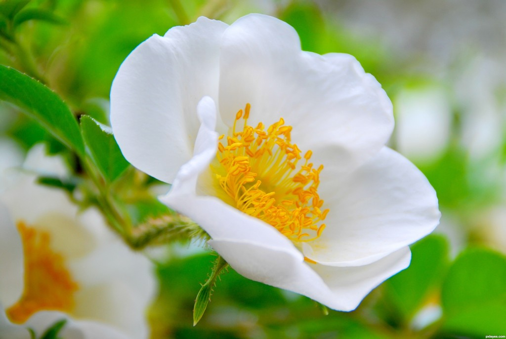 2014-0221 cherokee-rose-picture-girl-for-white-flowers-graphy_714732
